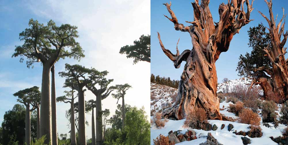 Climate Change Threatens Oldest and Largest Trees Worldwide I Science Technology and Lifestyle I SciTechLifestyle.com